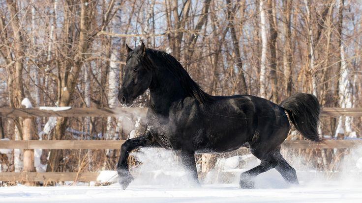 Zima, Śnieg, Drzewa, Czarny, Koń