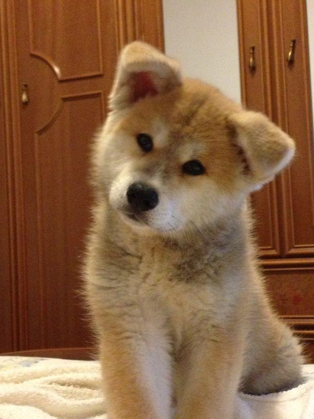 Most Inspiring Akita Chubby Adorable Dog - 48cd71c2b4ba125c0a27381a11dc75ec--akita-puppy-bavaria  2018_155139  .jpg