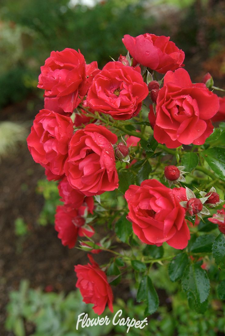65 best garden designs with roses images on pinterest carpets flower carpet scarlet is the first of the next generation varieties of flower carpet all bred for additional heat and humidity tolerance dhlflorist Image collections