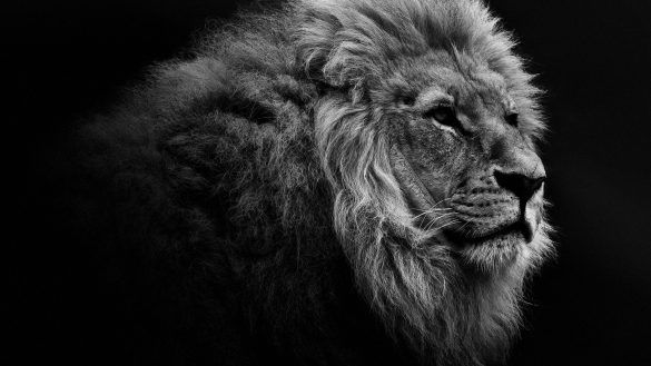 Image Result For Wallpaper For Laptop Windows 10 Lion Photography Animals Animals Beautiful