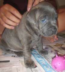 Purebred Blue/Blue Brindle Staffie Pups   puppies for sale COOLUM Queensland   Staffordshire Bull Terrier dogs for sale in Australia - http://www.pups4sale.com.au/dog-breed/491/Staffordshire-Bull-Terrier.html