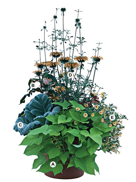 Container Gardens: Incorporate unusual plants to give your container gardens extra zing. Here, tall lion's ear adds to an already-beautiful combination. This planting grows best in sun.   A. Sweet potato vine (Ipomoea batatas 'Margarita') -- 1   B. Caricature plant (Graptophyllum pictum) -- 1  C. Silver sage (Salvia argentea) -- 1   D. Lion's ear (Leonotis menthaefolia) -- 1   E. Million bells (Calibrachoa 'Million Bells Terra Cotta') -- 2