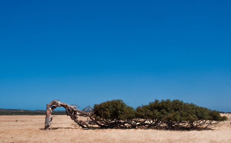 The wind is sooo strong near Geraldton Western Australia that the trees grow like this. The tree is a type of gum