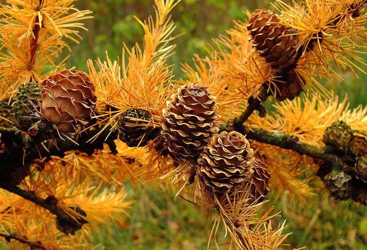 Hintergrundbilder Natur Herbst Ast Zapfen Großansicht