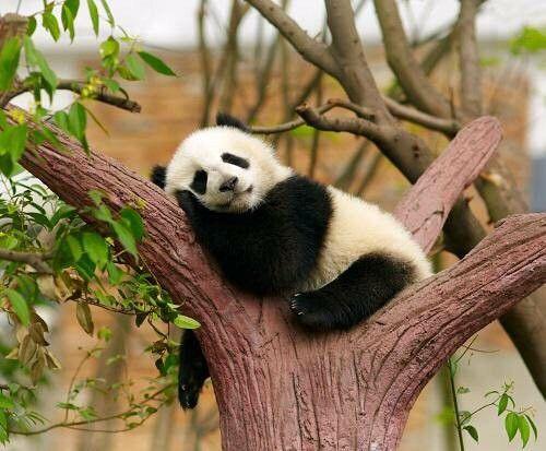 voglio essere un panda!