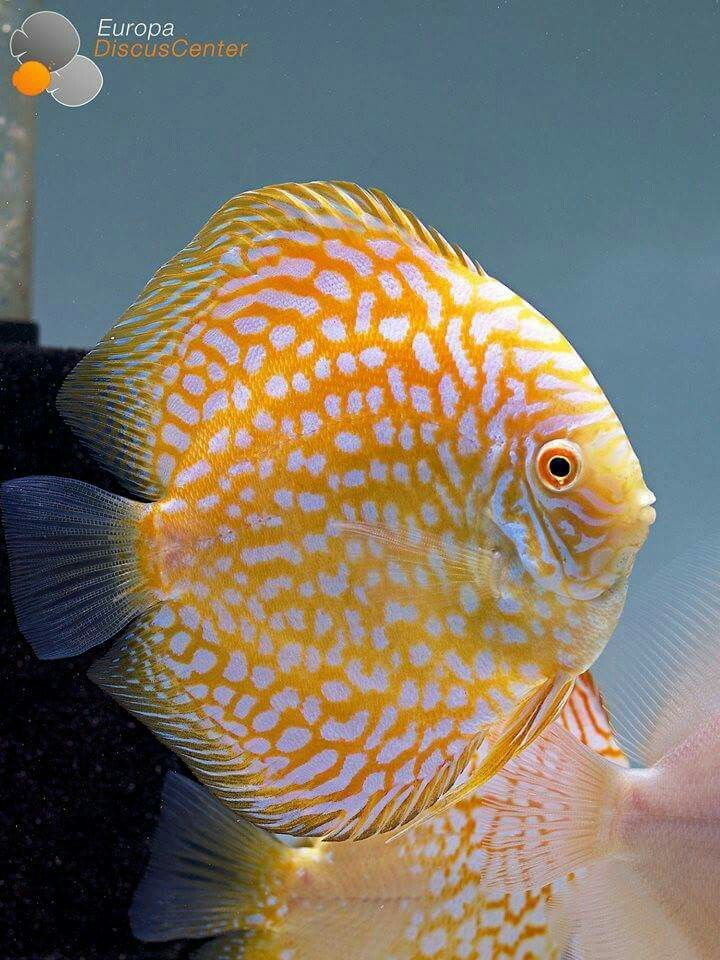 140 best discus tank mates images on pinterest for Best place to buy discus fish