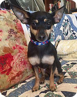 Santa Ana, CA - Miniature Pinscher/Manchester Terrier Mix. Meet Theo, a dog for adoption. http://www.adoptapet.com/pet/17305555-santa-ana-california-miniature-pinscher-mix