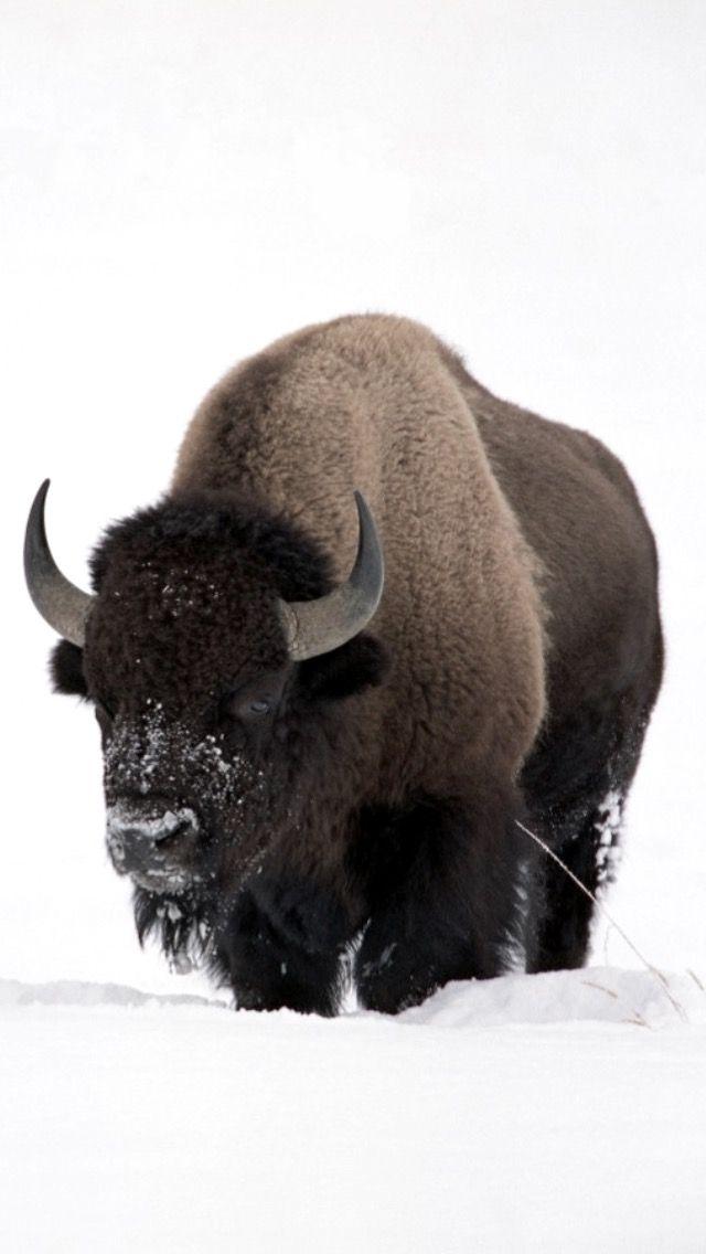Buffalo in snow