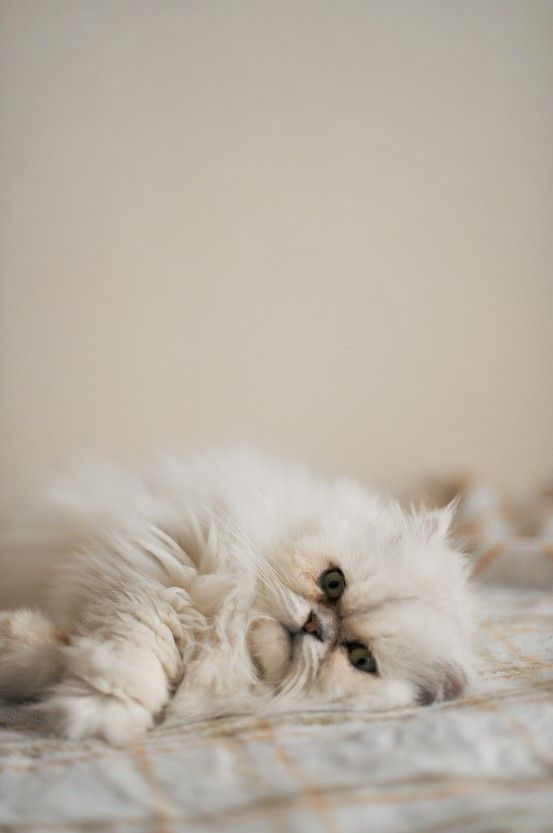 682 best images about Persian Cats \u0026 Kittens on Pinterest