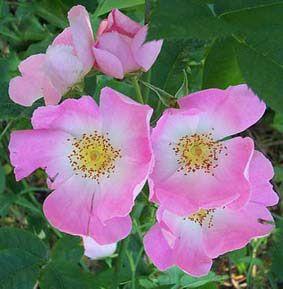 61 best rosier grimpant images on pinterest   flowers, garden