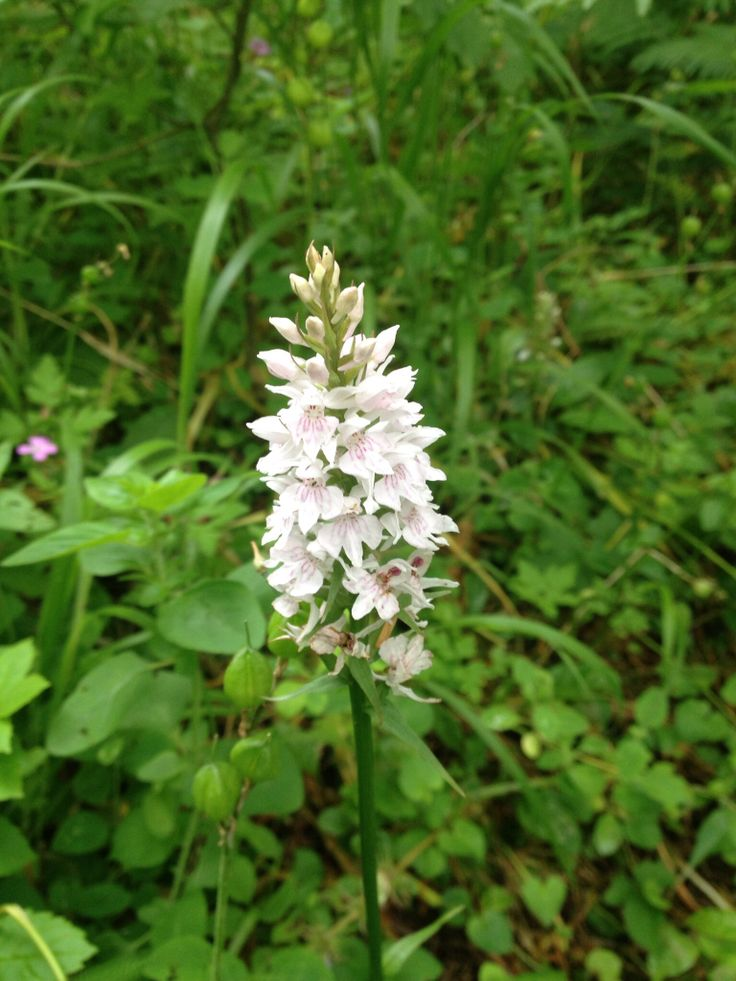 white spotted orchid flower - photo #20