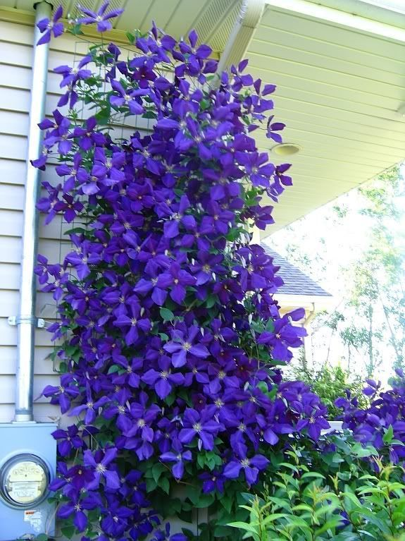 Jackmanii clematis.  Yes, I'm obsessed with clematis.  They are my favorite flowering vines.  I will be planting my first Jackmanii this spring.  It will be years before it ever looks like this--assuming I'm lucky enough mine becomes as beautiful and big as this one! #gardenvinesfence #gardenvinesmorningglories