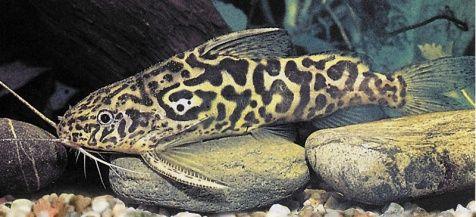 Marbled Synodontis Catfish - Synodontis schoutedeni