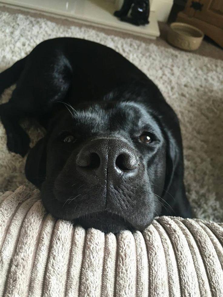 Everything We All Adore About The Active Black Labrador Retriever