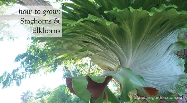 HOW TO GROW staghorns & elkhorns     The spectacular staghorn fern is an epiphyte or 'air plant', which grows without soil. Native to Australian rainforests, the staghorn Platycerium superbum and closely related elkhorn Platycerium bifurcatum will grow just about anywhere in filtered light with protection from winds. #aboutthegarden.com.au