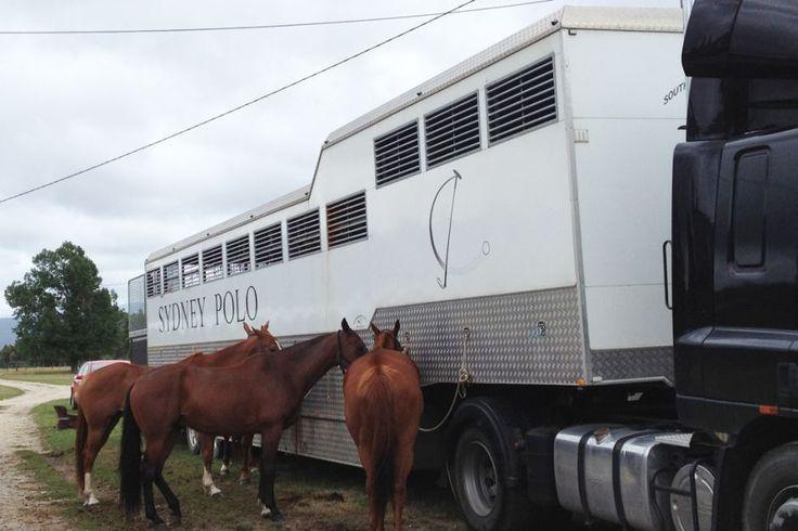 Two semitrailers full of polo horses in Tasmania
