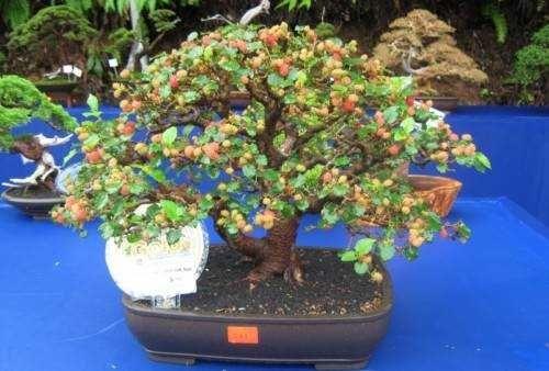 Bonsai de amora como cuidar bonsai pelo mundo - Cultivo de bonsai ...