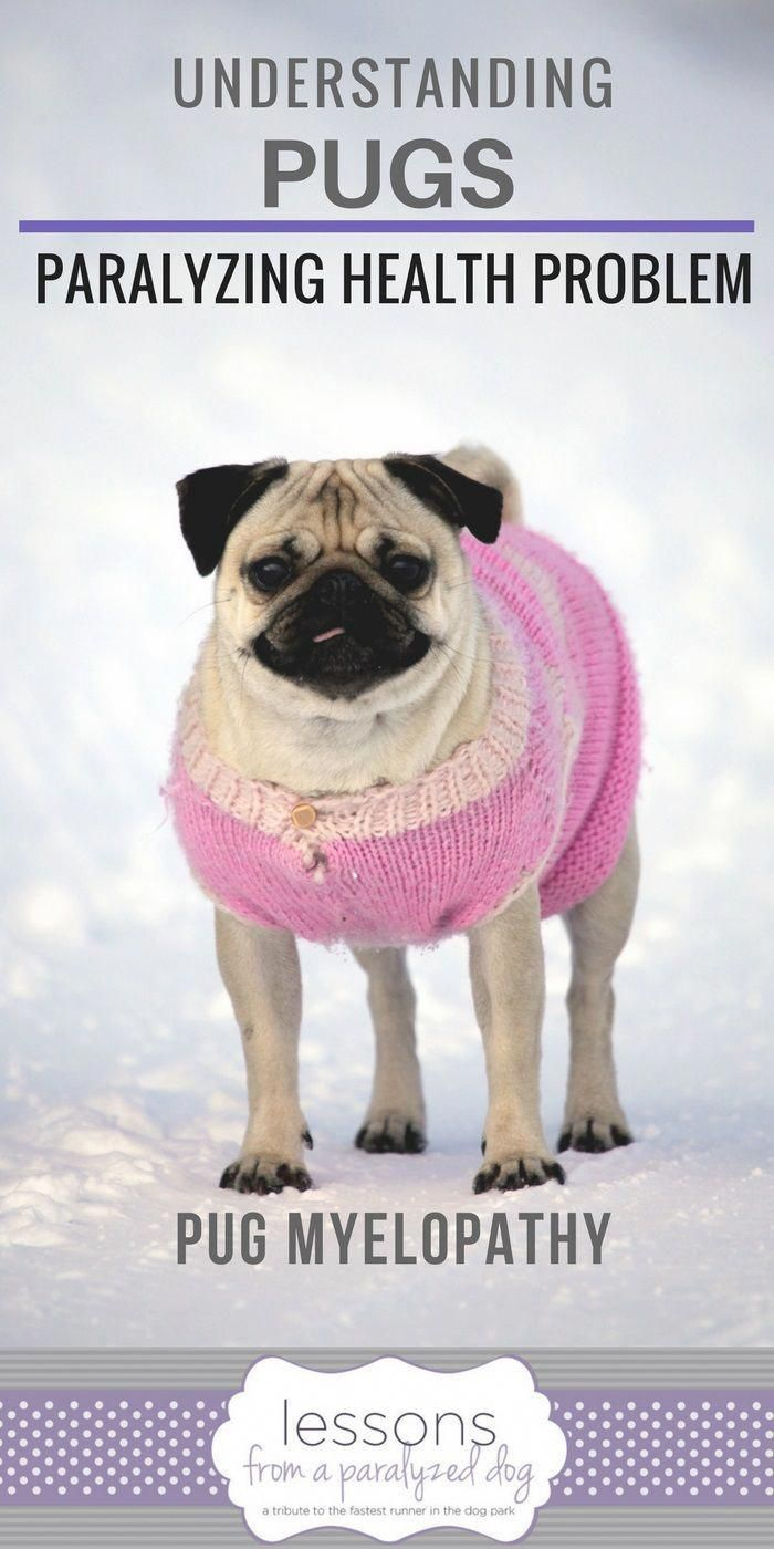 Advances In Understanding Pug Myelopathy Pugs Baby Pugs Pug