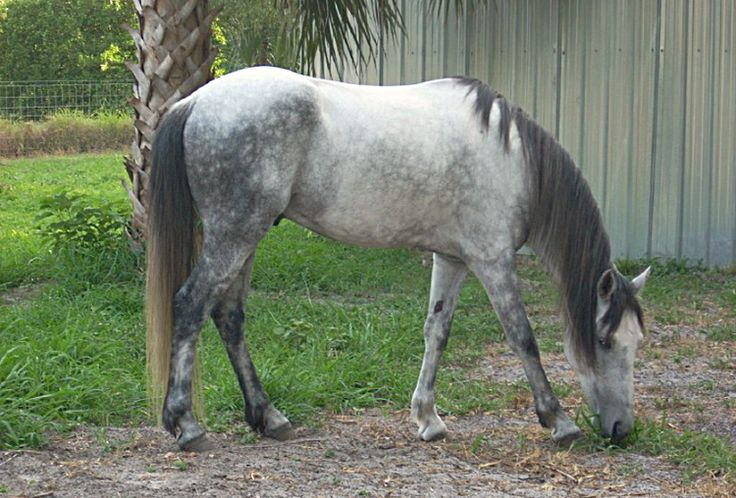Florida Cracker horse. Developed in Florida, US from Spanish horses, which it resembles. It was a popular cattle herding horse until the 1930s when the Quarter horse superceded it. Numbers are now critically low. The Florida government and private families are making efforts to save try to save the breed.