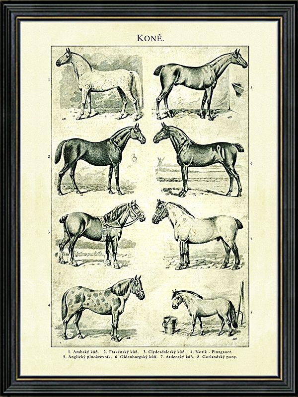 Obraz osmi starých plemen koní, kresba z konce 19. století. Zobrazená plemena: Arabský kůň, Trakénský kůň, Clydesdaleský kůň, Norik-Pinzgauer, Anglický plnokrevník, Oldenburgský kůň, Ardenský kůň, Gotlandský pony.