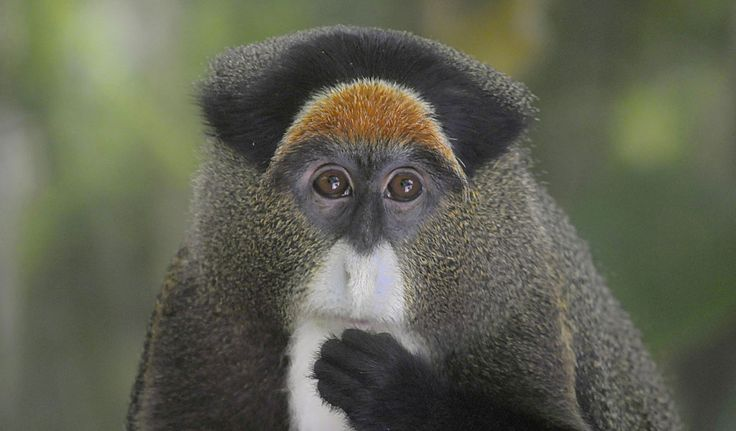 Genus: Cercopithecus – De Brazza's Monkey De Brazza's Monkey (Cercopithecus neglectus) is an Old World monkey that was named by French explorer Pierre Savorgnan de Brazza. Generally known as 'swamp monkeys', they are often found in wetlands in central Africa. The De Brazza's Monkey has good hiding abilities and therefore usually hard to find, making …