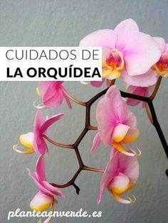 Cuidados básicos de la orquídea Phalaepnopsis, trucos y consejos para mantenerla sana La Orquídea Phalaepnopsis es una de las plantas de interior más conocidas y populares, sin embargo, sus cuidados…