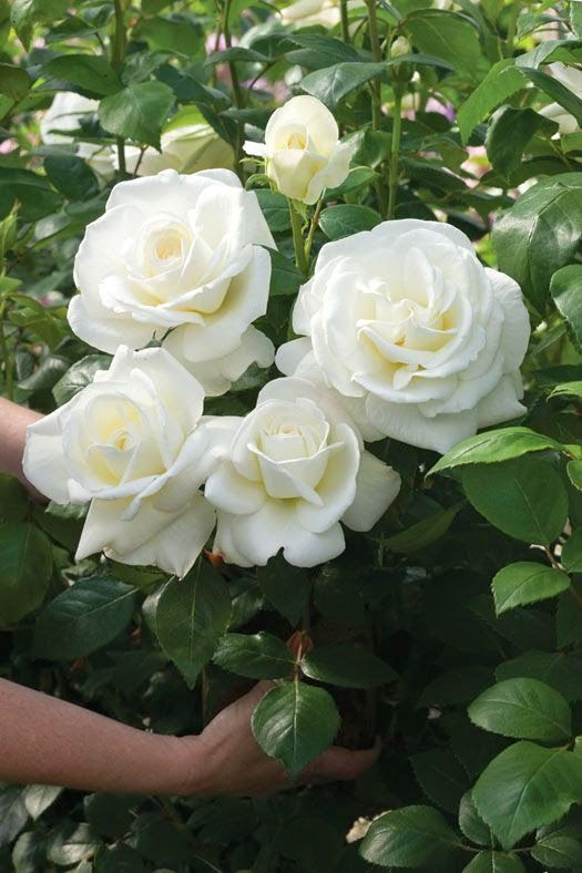 """~'Sugar Moon' Roses - med/tall upright shrub, healthy, disease resistant hybrid tea, 5"""" blooms great for cutting"""