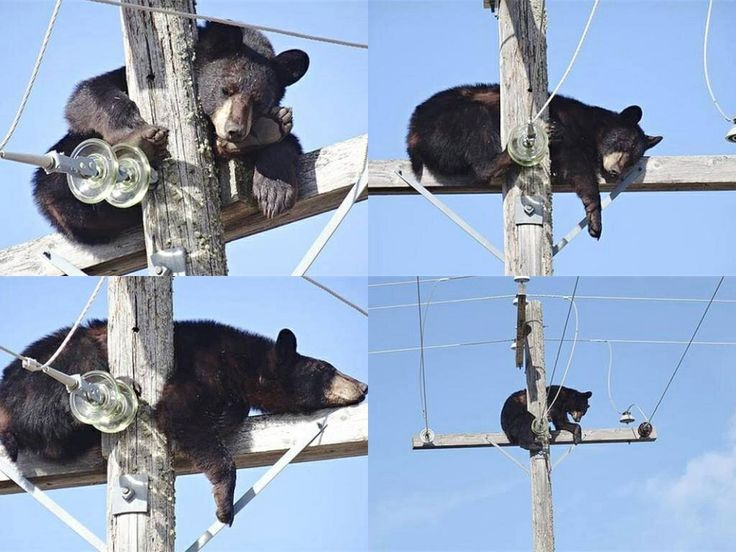 Bear takes a nap on top of a power pole. Near Shellbrook,SK.