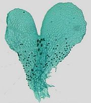 Gametofyt från ormbunke, ett förstadie till befrukad växtcell: livet är vidunderligt vackert!