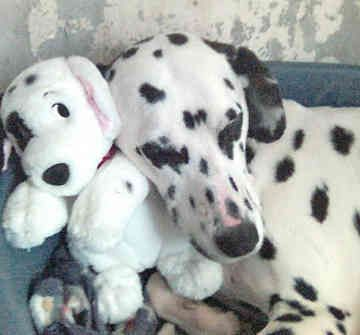 dalmatians being born | Clubs - Rescues - General Information |
