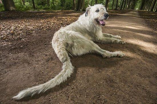 Cão belga entra para Guinness por ter o maior rabo do mundo | RedeTV! Em rede…