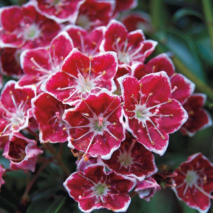 'Starburst' Kalmia latifolia (Kalmia latifolia Starburst) at Wayside Gardens