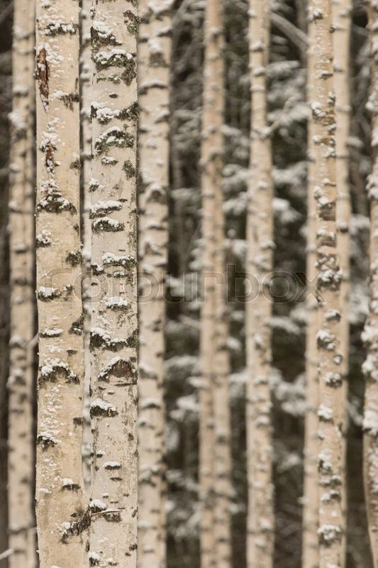 Stock image of 'Birch woods on winter'