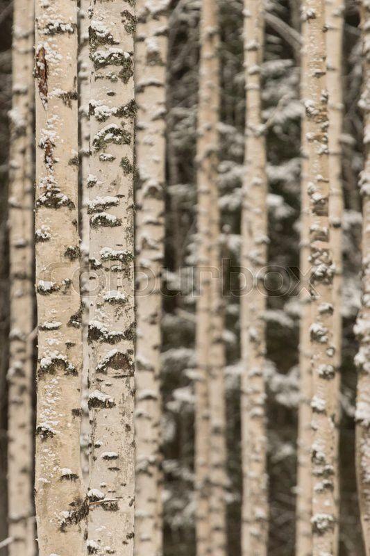 Stock image of 'Birch woods on winter'