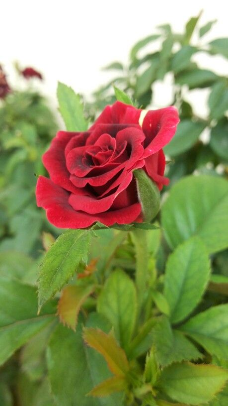 Baby red rose