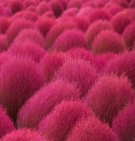 HEIRLOOM NON GMO Kochia Scoparia Grass 100 Seeds
