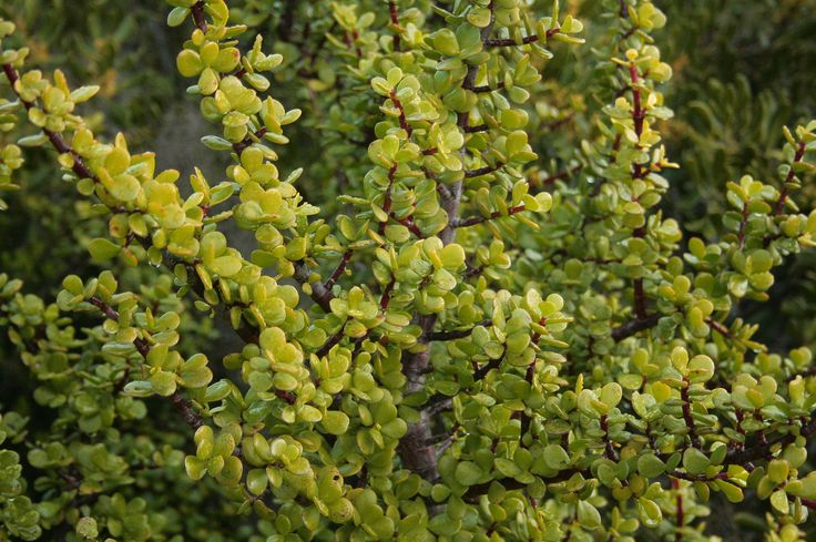 """The odd looking spekboom (Portulacaria afra) is sometimes referred to as the """"oxygen plant"""" because it can absorb up to four tonnes of carbon per hectare! The easy to grow #succulent is #indigenous to South Africa and can grow up to 2m in height."""