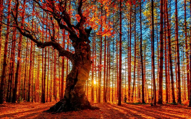 Beautiful autumn sunset forest, trees, red leaves Wallpaper ...