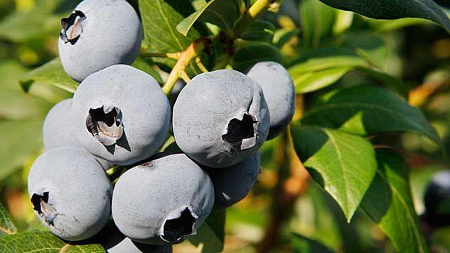 Heidelbeeren sind nicht nur beliebt als Zutaten für Muffins und leckere Quarkspeisen, die blauen Beeren sind auch gesund. Angeblich setzte schon Hildegard von Bingen im 12. Jahrhundert die Beeren gegen Durchfall ein. Frisch aus dem Garten schmecke...