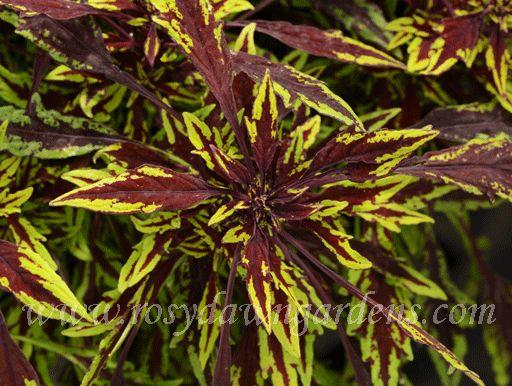Chipotle [C51] - $6.00 : Online Coleus Plant Catalog | Rosy Dawn Gardens, | Coleus Growing Specialists