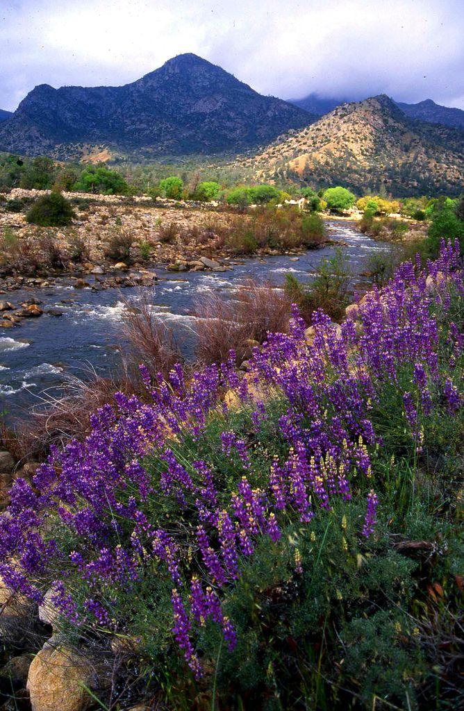 Lupine Fields, Kern Valley Cs alifornia