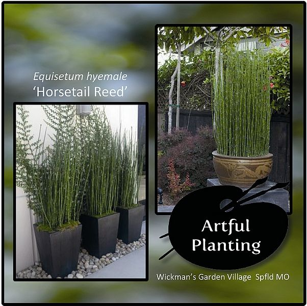 how to get rid of horsetail plant