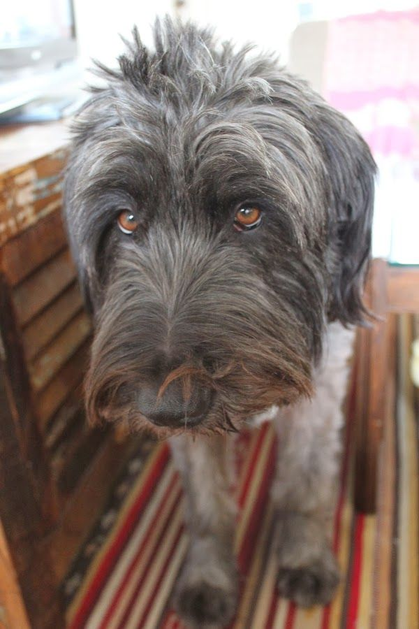 Shaggy dogs like this remind me of little old men :-)