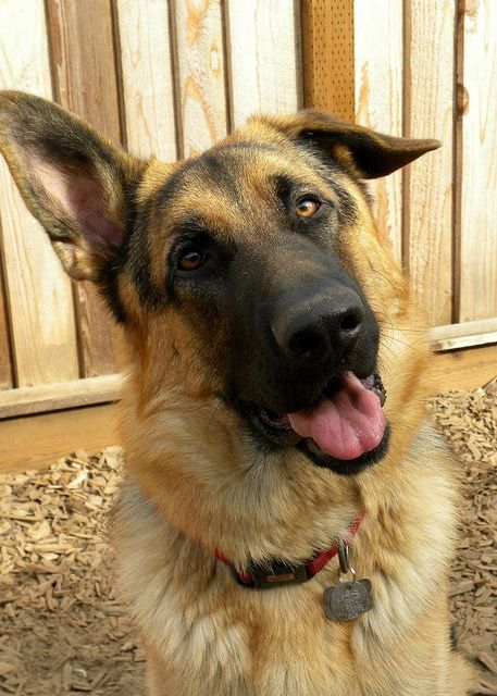 german shepherd with floppy ears german shepherd with one floppy ear four legged friends 6539