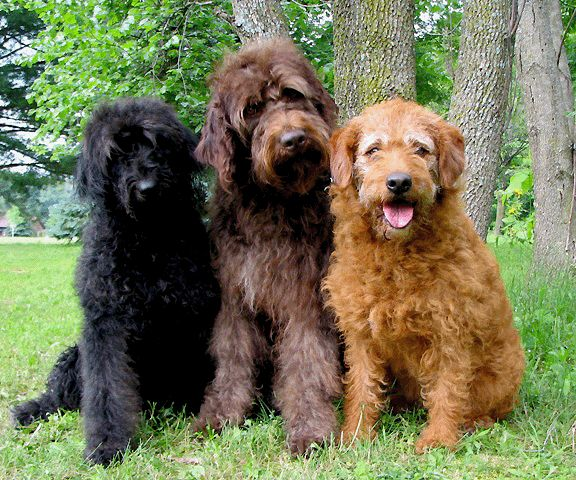 Doodle Dogs For Sale Scotland