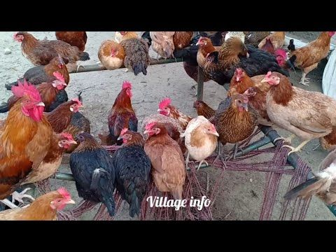 Desi Hen Farming in Pakistan|Golden Misri Farming in