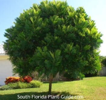 Japanese Fern Tree The small size - 20 or 25 feet - makes the fern tree a good choice for a small front yard for house or mobile home. Or it can be used in conjunction with other plantings, because the foliage has a unique tropical look. This small shade tree is evergreen and prefers full to part sun. It can get 20 to 25 feet but that takes quite a while, since it's is a slow to moderate grower.