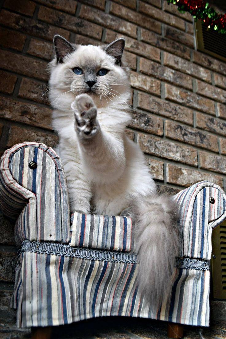 Blue point ragdoll Ohemgee Spider #ohemgee #cats #cat #fluffycat #ragdolls #ragdoll #kittens #blueragdoll #bluepoint #blueeyes