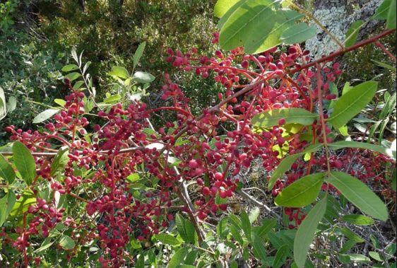 Çitlembik Ağacının Anavatanı-Kullanım Alanları ve Faydaları