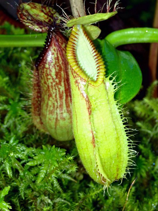 Asian pitcher plant